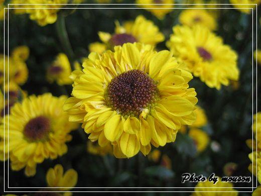 同心園 小黃花