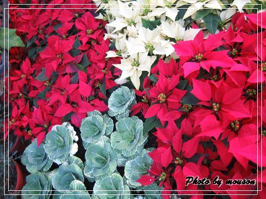同心園 聖誕紅