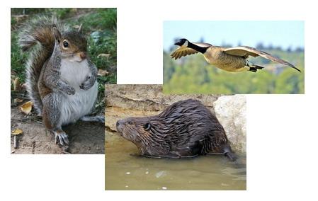 圖片來源  http://en.wikipedia.org/wiki/Beaver http://en.wikipedia.org/wiki/Squirrel http://en.wikipedia.org/wiki/Geese